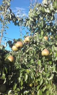 Nos poires - Les vergers de la Caunelaye